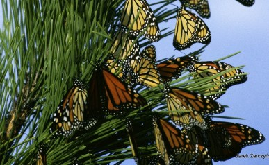 44-monarch-butterflies-86594_1920